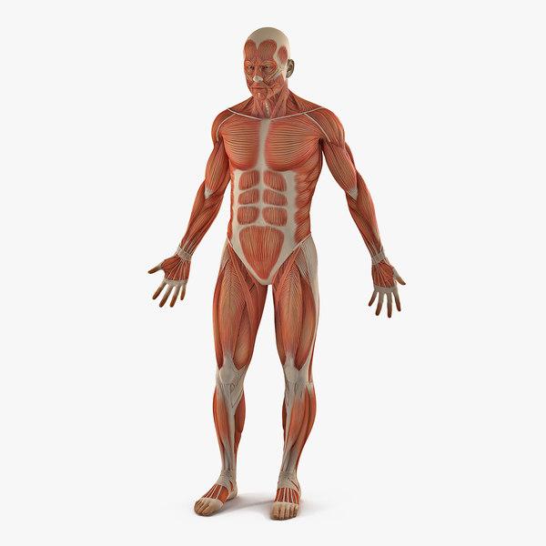 male anatomy muscular 3D model