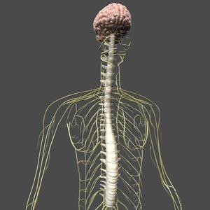 human nervous 3D model
