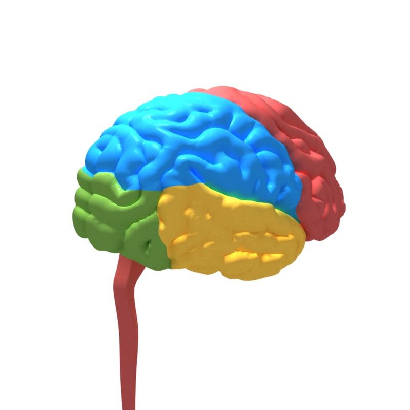 human cerebrum 3D model