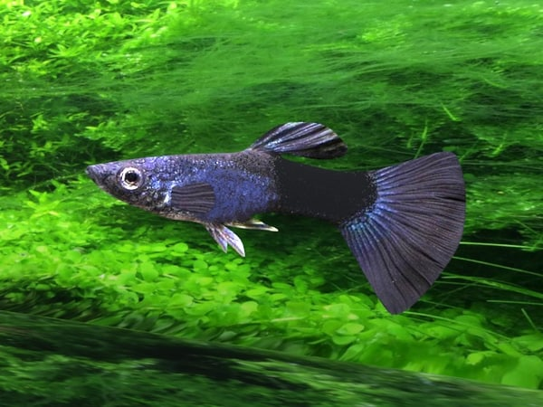 rigged moscow blue guppy 3D model