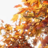 photogrammetry maple tree model