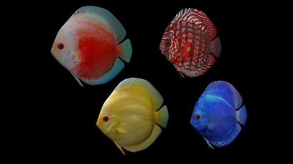 3D discus fish