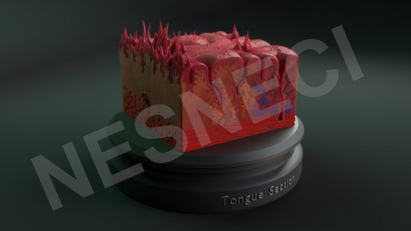 3D cross section tongue