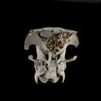 sheep skull model