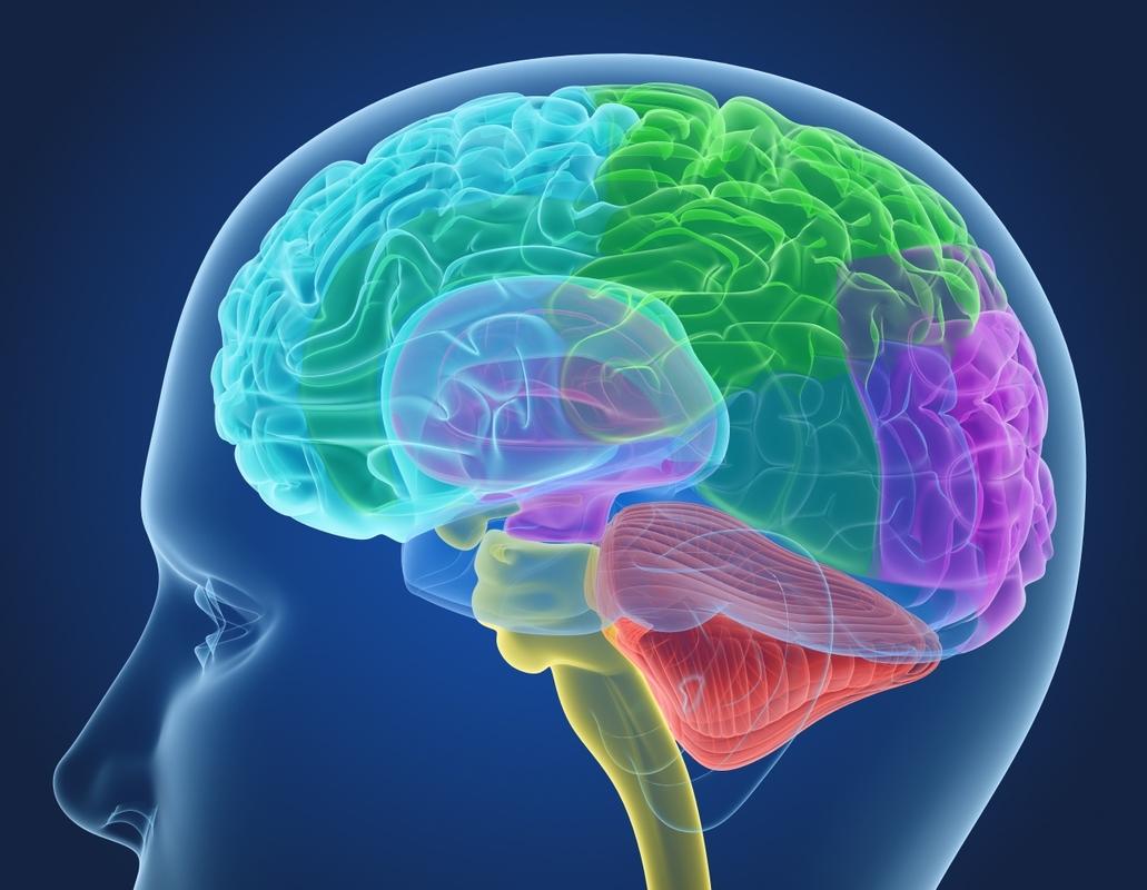 3D xray human brain anatomy