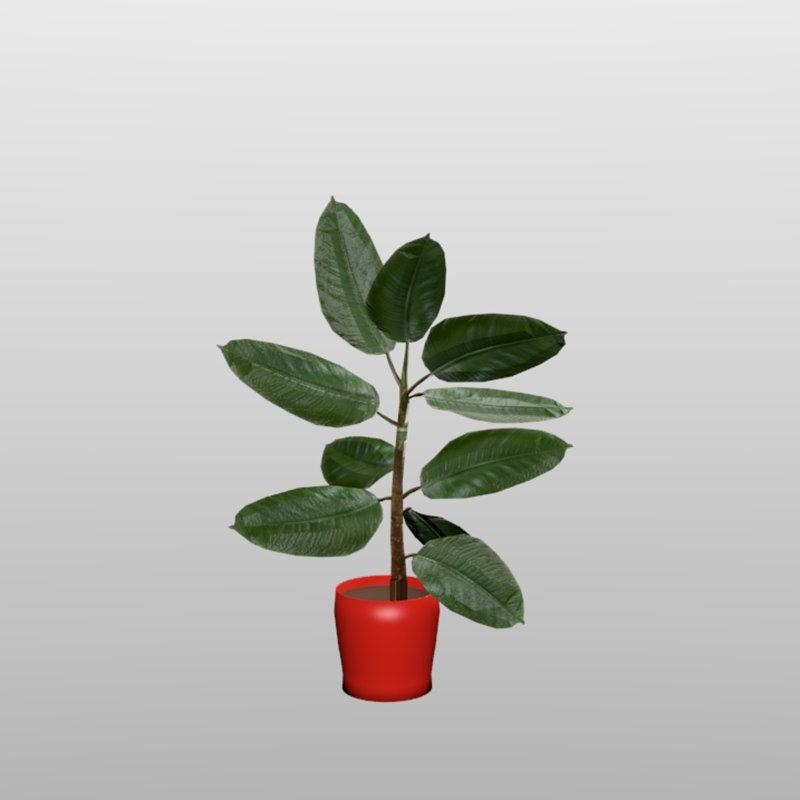 rubber plant indoor outdoor model