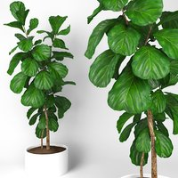 ficus fiddle fig leaf model