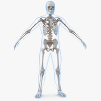 male body skeleton 3D model