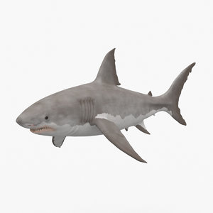 great white shark model