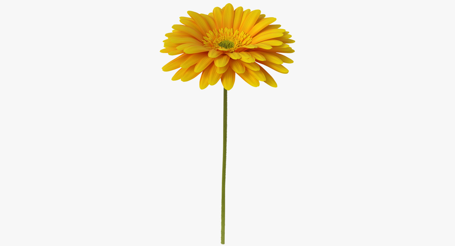 3D yellow gerbera flower model
