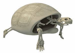 tortoise skeleton 3D