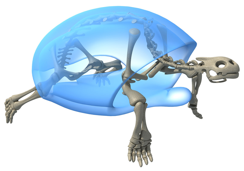 Tortoise skeleton 3D - TurboSquid 1235752