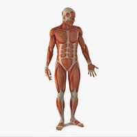 Anatomy Male Muscular System Rigged