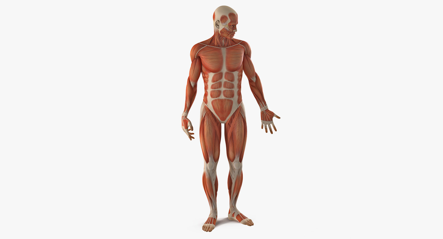 anatomy male muscular rigged model