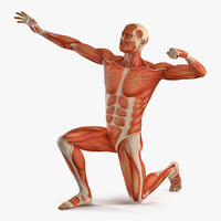 Male Muscular System in Bodybuilder Pose 3D Model
