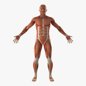 Turbosquid éducation Anatomy-male-muscular-3D-model_300