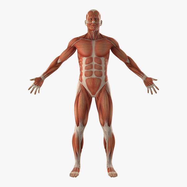 anatomy male muscular 3D model