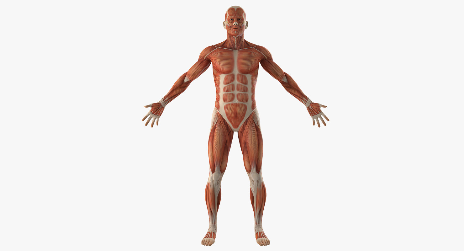 Muscular System 3d Models For Download Turbosquid