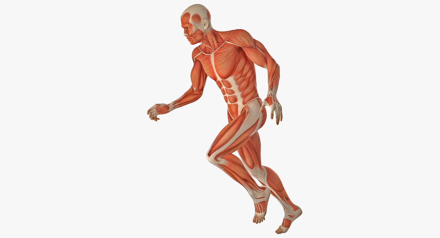3D running man muscles anatomy - TurboSquid 1236288