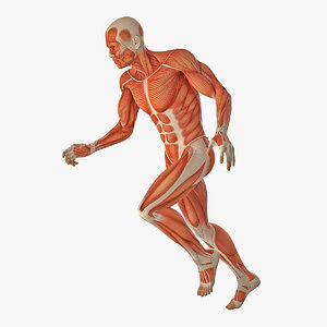 3D running man muscles anatomy