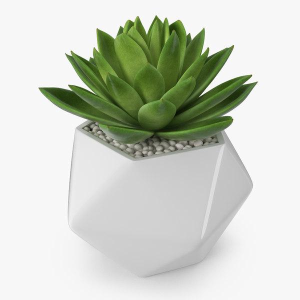 succulent echeveria agavoides model