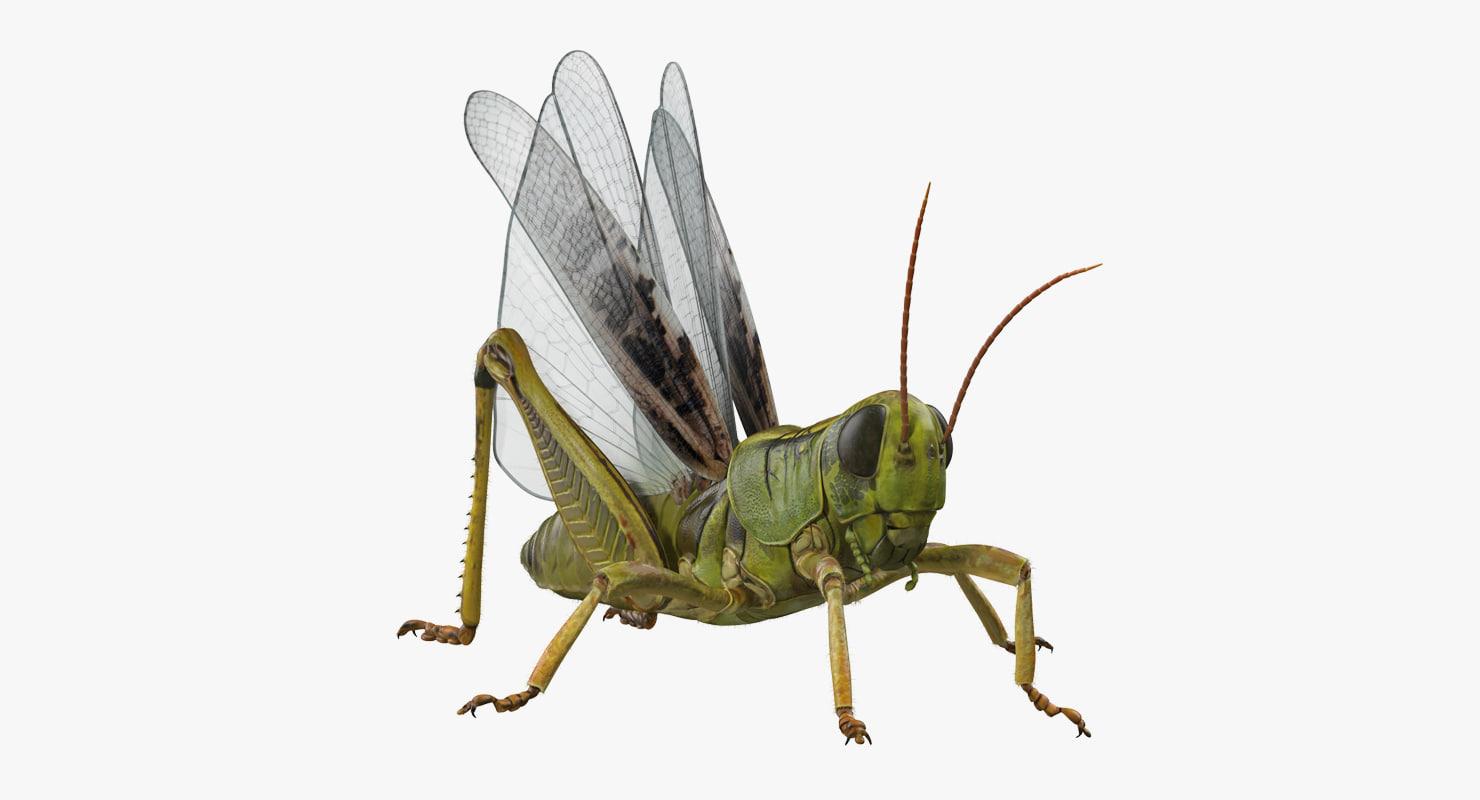3D grasshopper fur rigged model