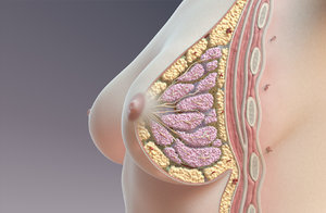 breast cross section 3D model