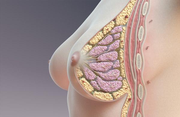 breast cross section 3D model