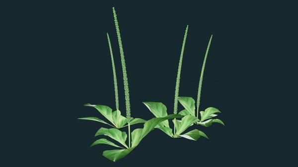 3D plantago plants