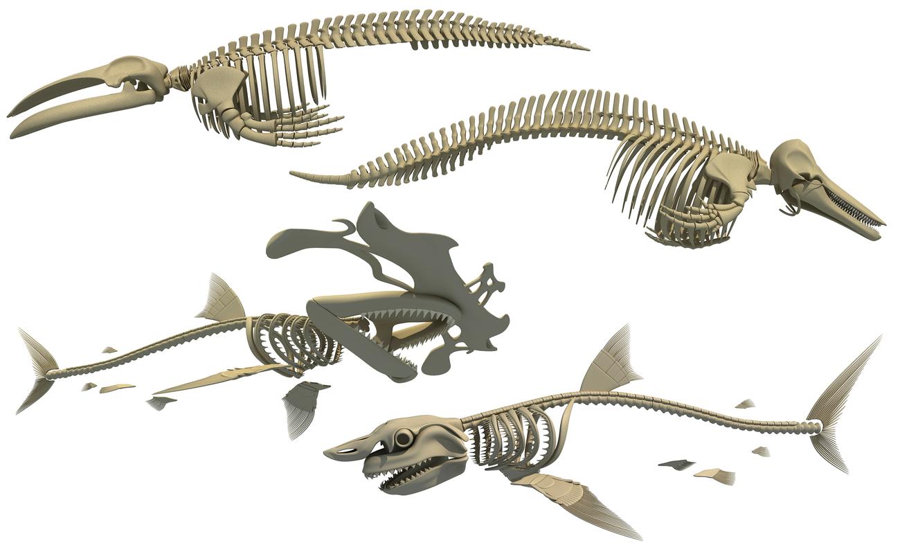 skeleton whale shark dolphin 3D
