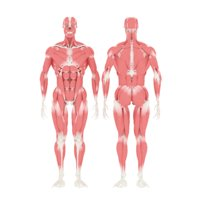 3D human body muscular skeletion