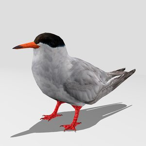 common tern model