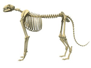 cheetah skeleton animal 3D