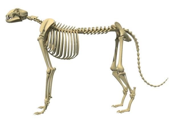 cheetah skeleton animal 3D