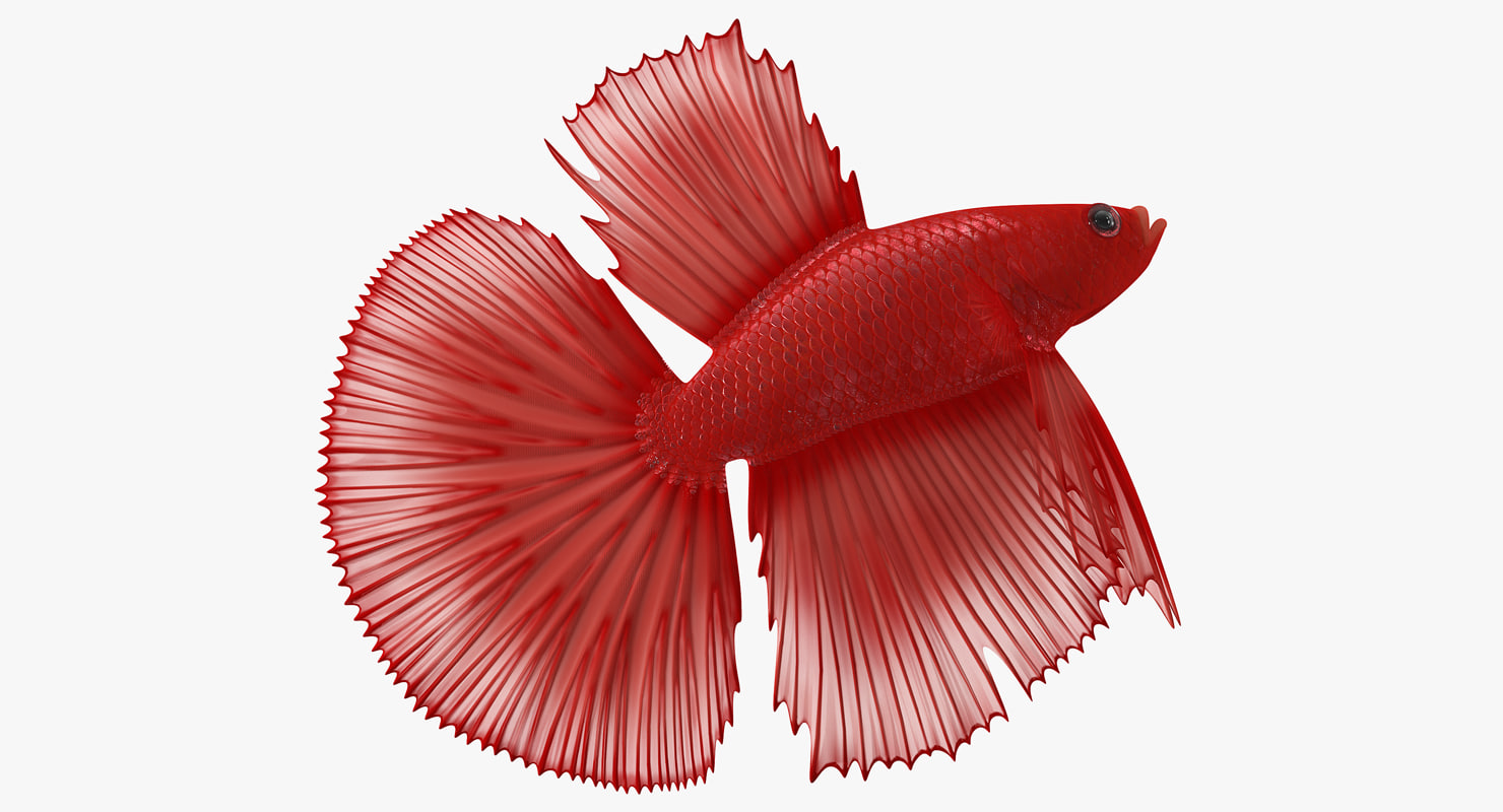 3D model red crowntail betta fish