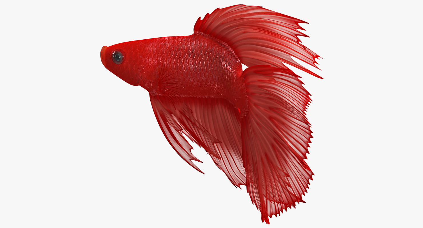 3D red crowntail betta fish