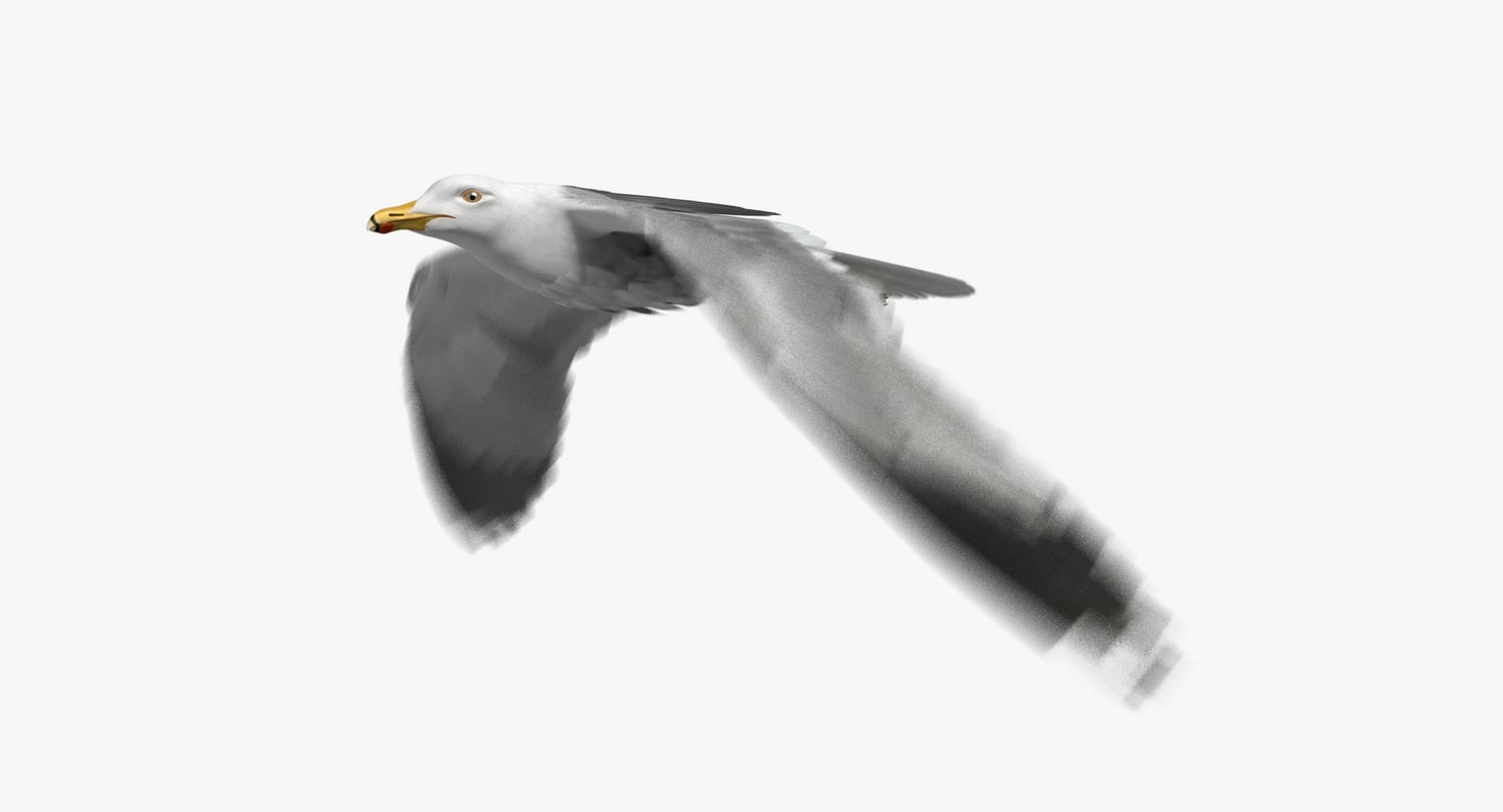 3D california gull animation flying