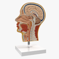 Section Of Human Head Anatomy Model
