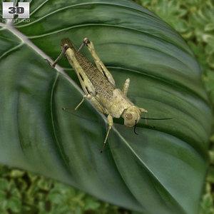 desert locust model