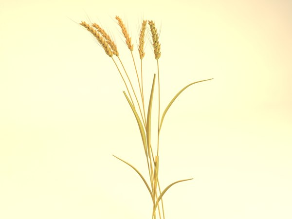 ears wheat 3D model