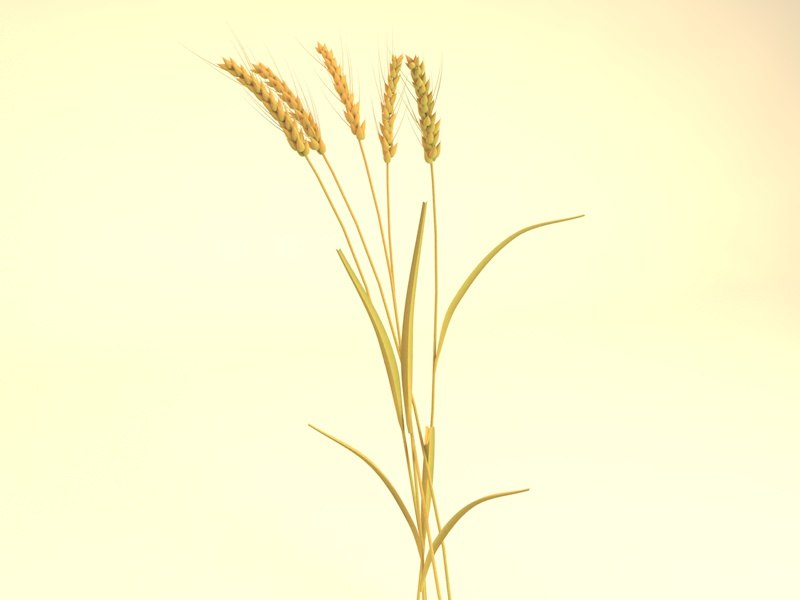 ears wheat 3D model