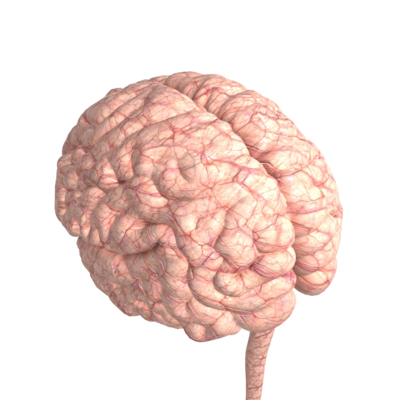 3D anatomy body brain cerebrum