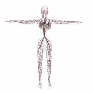 3D human circulatory