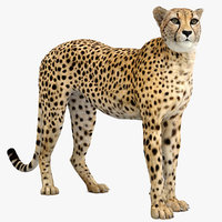cheetah rigged 3D model