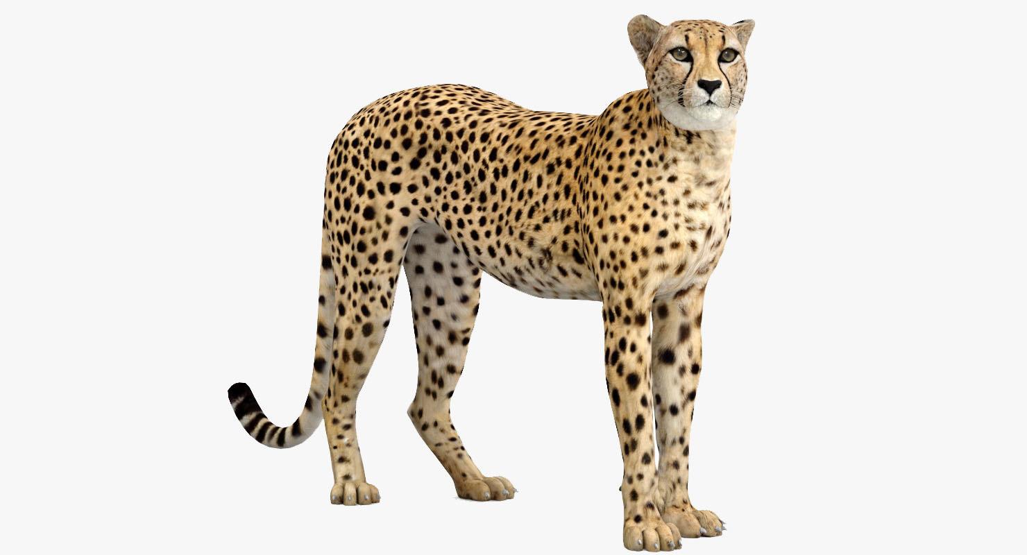 cheetah rigged 3D model