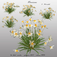 Narcissus flower 3D