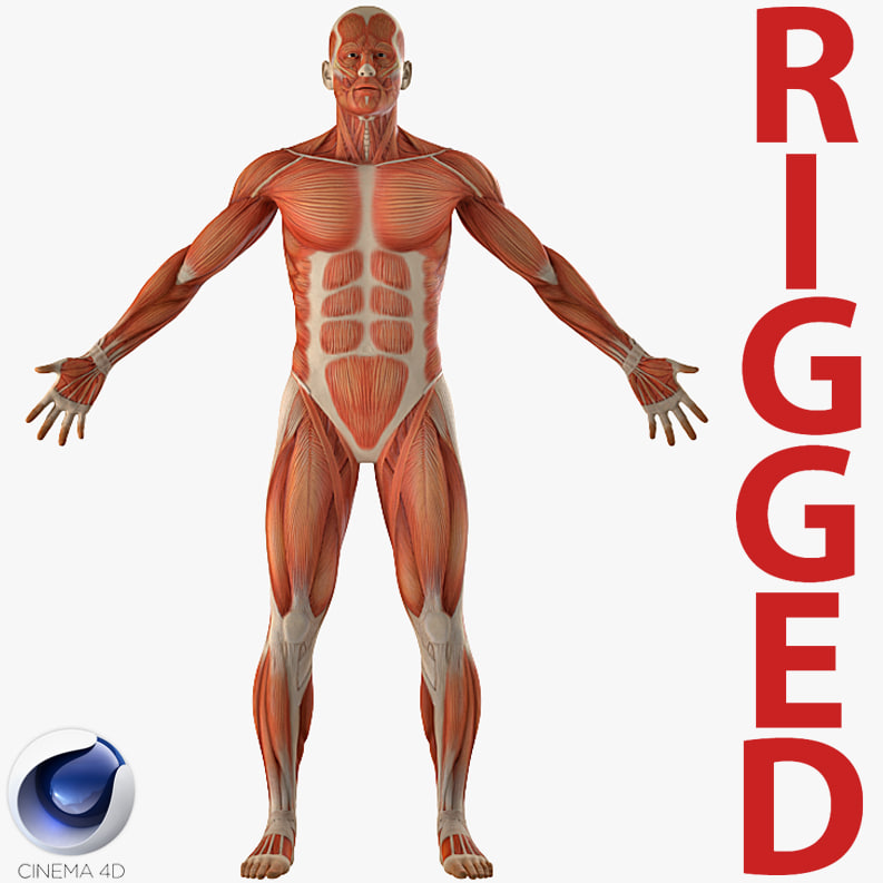 Anatomy Male Muscular Rigged Model Turbosquid 1243893