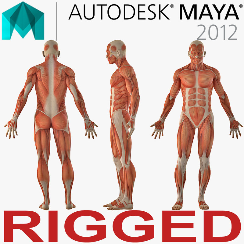 3D model anatomy male muscular rigged - TurboSquid 1243894