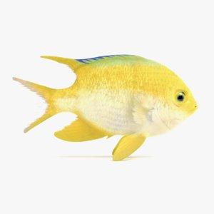 golden damsel fish 3D model