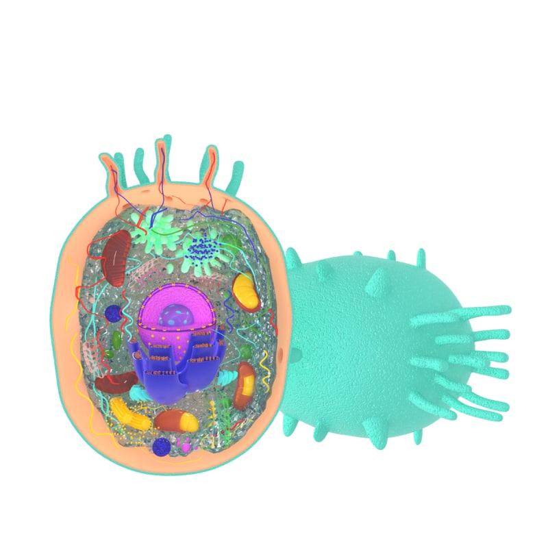 3D model animal cell